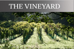 the_vineyard